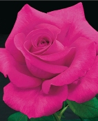 Rosa All My Loving