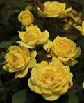 chching rose