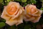 just joey rose