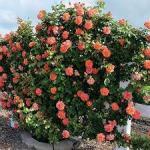 rose aboe all