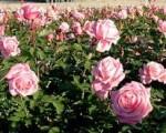 rose belindas dream