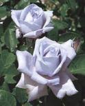 rose blue girl