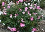 rose brilliant pink ice