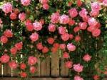 rose climbing amaerica