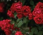rose climbing blaze