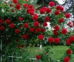 rose climbing dublin bay