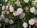 rose climbing new dawn