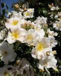 rose climbing sally holmes