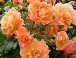 rose climbing westerland