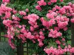 rose climbing zephrine