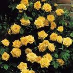 rose climging golden showers