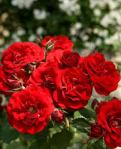 rose europeana
