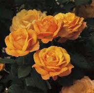 rose good as gold