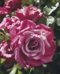 rose heirloom