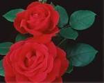 rose loves magic