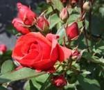 rose morden fireglo