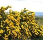 rose persian yellow