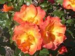 rose playboy