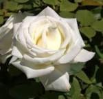 rose pope john paul