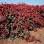 rose red medi