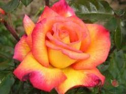 rose sheilas perfume