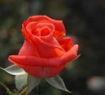 rose tropicana
