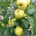 apple yellow delicous
