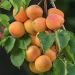 appricot blenheim