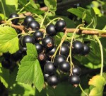 currant black