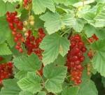 currant cherry