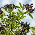 elderberry nova
