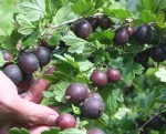 Gooseberry black