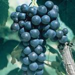 grape glenora