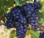 grape sueben