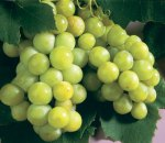 grape_white_niagra