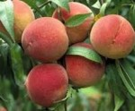 peach elberta