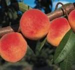 peach ranger