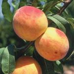 peach reliance