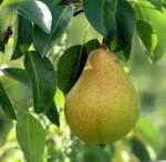pear keiffer
