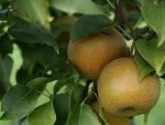 pear shinko