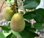 pear warren