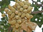 pistachio-