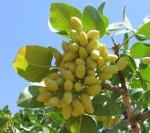 pistachio kerems