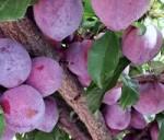 plum satsuma