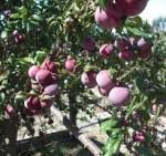 plum weepin santa rosa