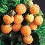 raspberry fallgold