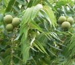 walnut black