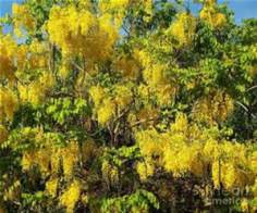 goldenraintree