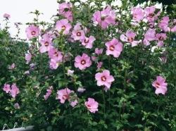 roseofsharon