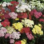 yarrow summer paslels